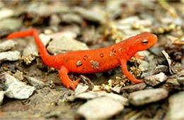 Notophthalmus viridescens - Red-spotted Newt