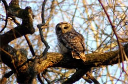 Strix varia - Barred Owl