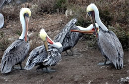 Pelecanus occidentalis - Brown Pelican at Bird Island