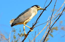 Nycticorax nycticorax - Black-crowned Night-heron