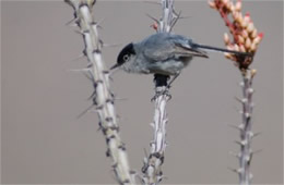 Polioptila melanura - Black-tailed Gnatcatcher