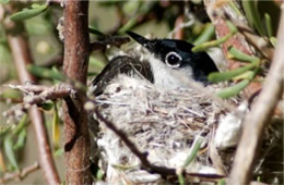Polioptila melanura - Black-tailed Gnatcatcher on Nest