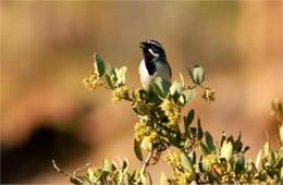 Amphispiza bilineata - Black-throated Sparrow
