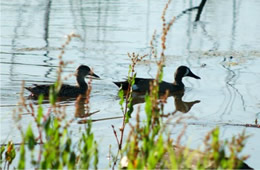 blue winged teal pair