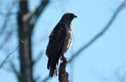 Buteo platypterus - Broad-winged Hawk