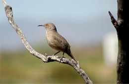 Toxostoma curvirostre - Curved Billed Thrasher