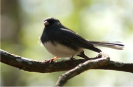 Junco hyemalis - Dark-eyed Junco