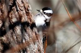 Picoides pubescens - Downy Woodpecker