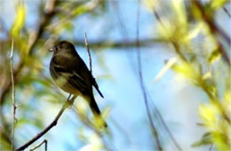 Empidonax - Flycatcher