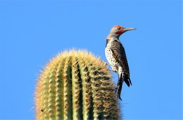 Colaptes chrysoides - Guilded Flicker
