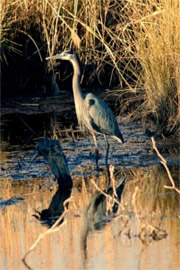 Ardea herodias - Great Blue Heron