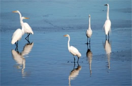 Ardea alba - Great Egrets