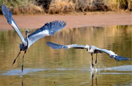 Ardea herodias - Great Blue Herons