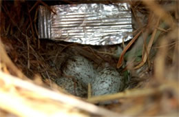 Passer domesticus - House Sparrow Eggs