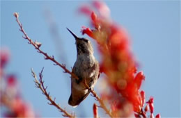 Hummingbird Perching on Ocotillo Flowers