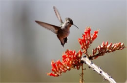 Hummingbird Nectaring on Ocotillo Flowers