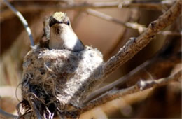 Female Hummingbird on Nest