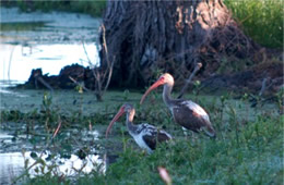 pair of ibis young