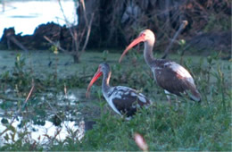 pair of young ibis