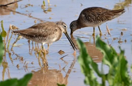 Limnodromus scolopaceus - Long-billed Dowitcher