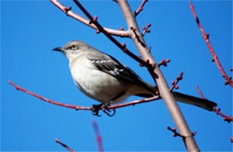 Mimus polyglotus - Northern Mockingbird