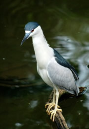 Nycticorrax nycticorax - Black-crowned Night Heron