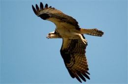 Pandion haliaetus - Osprey