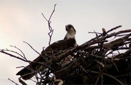 Pandion haliaetus - Osprey on Nest