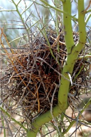 Birdnest in Palo Verde Tree