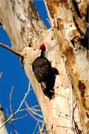 Dryocopus pileatus - Pileated Woodpecker