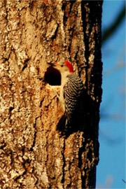 Melanerpes carolinus - Red-bellied Woodpecker