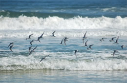 shore birds flying