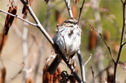 Melospiza melodia - Song Sparrow