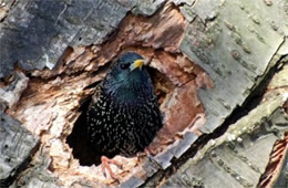 Sturnus vulgaris - European Starling