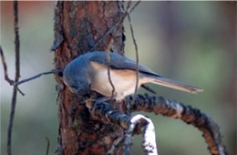 Baeolophus bicolor - Tufted Titmouse