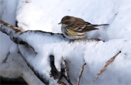Dendroica coronata - Yellow Rumped Warbler