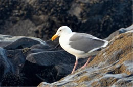 Larus occidentalis - Western Gull