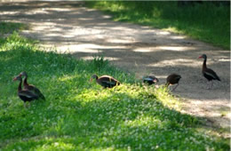whistling ducks crossing footpath