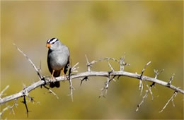 Zonotrichia leucophris - White-crowned Sparrow