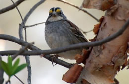 Zonotrichia albicollis - White-throated Sparrow
