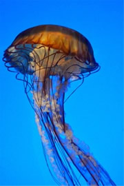 Aquarium Jellyfish from the Californian Academy of Sciences