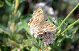 Systasea zampa - Arizona Powdered Skipper