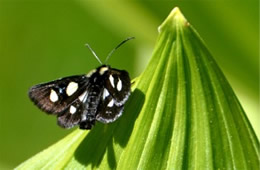 Alypia octomaculata - Eight-spotted Forester Moth