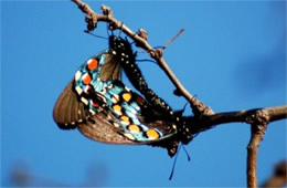 Battus philenor - Pipevine Swallowtails Mating