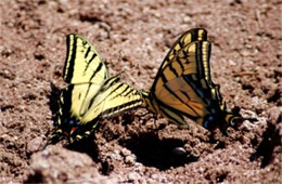 Papilio multicaudata - Two-Tailed Swallowtails Puddling