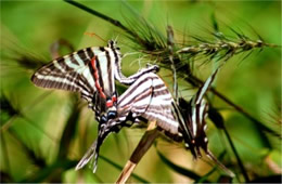 Eurytides marcellus - Zebra Swallowtails Mating