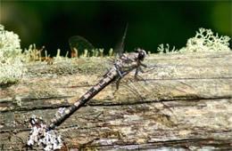Tachopteryx thoreyi - Gray Petaltail Dragonfly