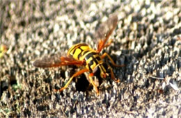 Milesia virginiensis - Yellowjacket Hover Fly