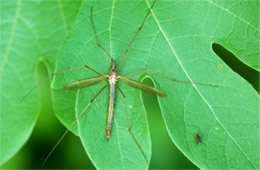 Crane Fly and Much Smaller Fly