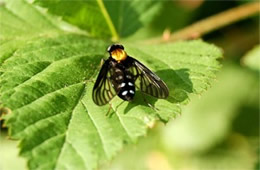 Chrysopilus thoracicus - golden-backed snipe fly